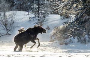 Algonquin Winter Moose 10