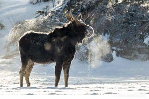Algonquin Winter Bull Moose single