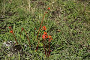 Begonia veitchi