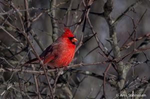 Northern Cardinal 2