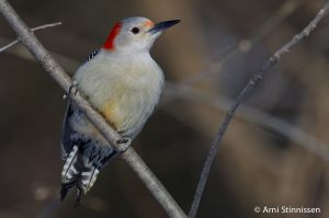 Red-bellied Woodpecker - female 2