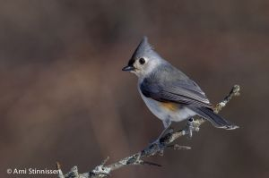 Tufted Titmouse 4