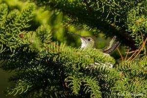 White-bellied Hummingbird on nest