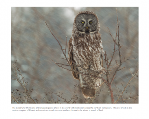 January - Great Gray Owl