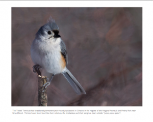 February - Tufted Titmouse