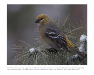 March - Pine Grosbeak