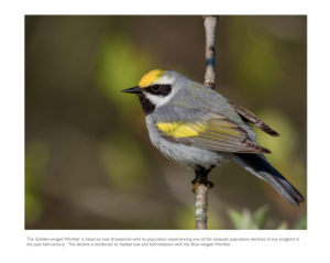June - Golden-winged Warbler