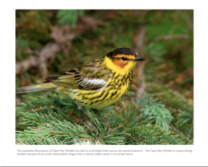 July - Cape May Warbler