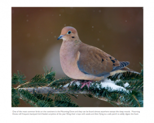 November - Mourning Dove