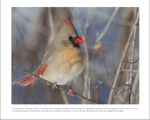 December - Northern Cardinal