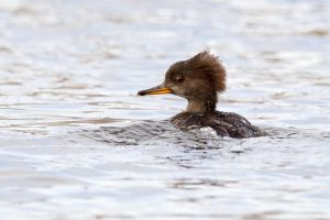 Hooded Merganser - female 2