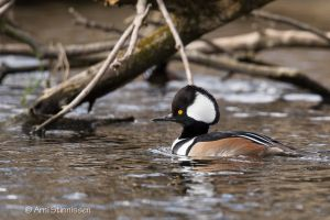 Hooded Merganser - male 2