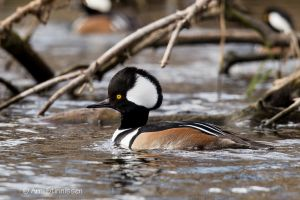 Hooded Merganser  - male 6