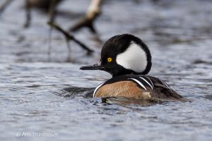 Hooded Merganser  - male 7