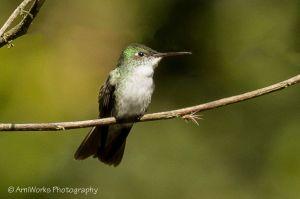 Green and white Hummingbird