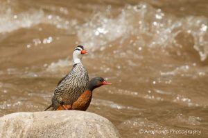Torrent Ducks