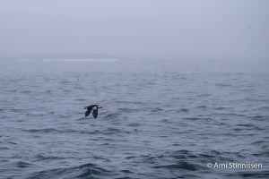 Puffin in flight - fog upon arrival at Machias Seal Island