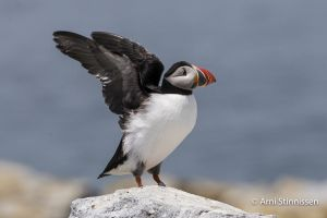 Atlantic Puffin 5