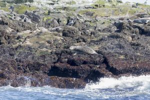 Gray Seal hauled out on small island