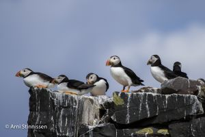 A puffinry of Puffins