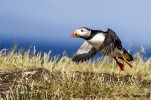 Atlantic Puffin take-off