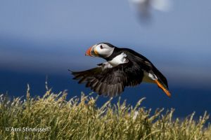 Atlantic Puffin take-off 2