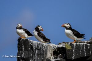 Three Atlantic Puffins
