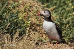 Atlantic Puffin near burrow 1