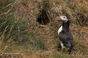 Atlantic Puffin near burrow 3