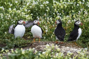 Another puffinry of Puffins